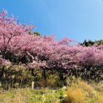 【2020】権現堂桜堤の桜開花はいつ?駐車場やアクセス方法も